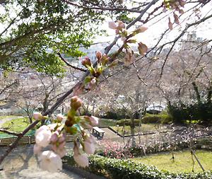 photo:桜が咲き始めました♪♪